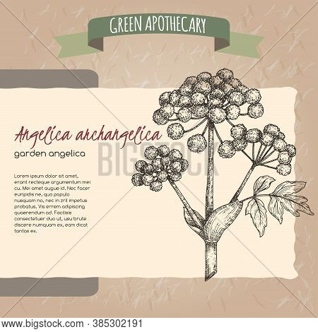 Angelica Archangelica Aka Garden Angelica Sketch On Vintage Paper Background. Green Apothecary Serie