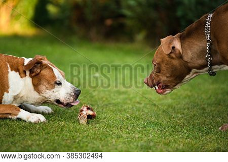 Two Dogs Amstaff Terriers Fighting Over Food. Young And Old Dog Agressive Behaviour. Canine Theme