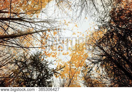 Autumn forest landscape with the yellowed forest autumn trees extending to the sky - cloudy forest autumn landscape in foggy weather. Lowest point shooting.