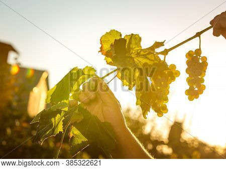 Wine Harvest. Bunches Of White Grapes In The Rays Of The Setting Sun. Women's Hands Tend To The Vine
