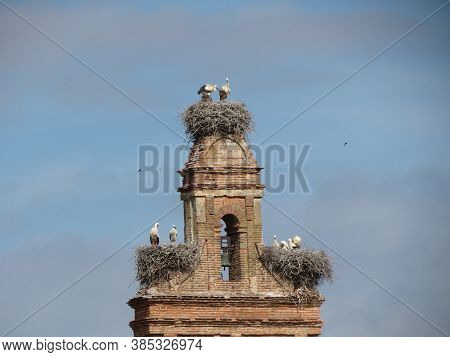 Stork Nests With Grown Birds And Young Hatchlings On The Tower Of St. Maria Church In Hospital De Or