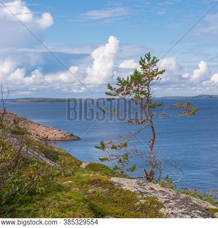 Lonely Little Pine Tree On The Island Of German Kuzov (close-up). Kuzova Archipelago Located In The
