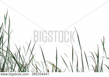 In Selective Focus Wild Grass Leaves On White Isolated Background For Green Foliage Backdrop