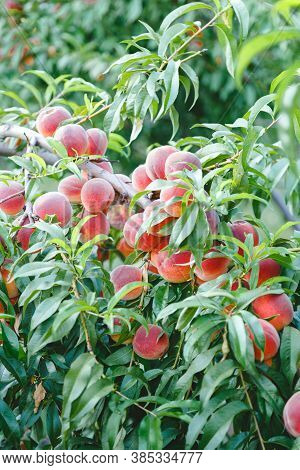 Peaches On Tree. Harvest Ripe Peaches On Peach Tree In Garden Outside. Abundance Of Fertility Of Fru