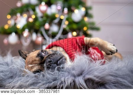 Cute French Bulldog Dog Wearing A Red Knitted Christmas Sweater Lying On Cozy Fur Blanket In Front O