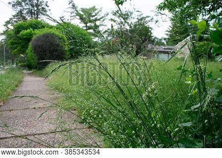 A Long Green Plant Next To The Sidewalk In An Overgrown Front Lawn