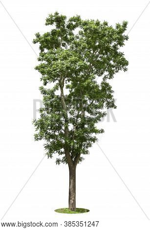 Isolated   Tree On White Background.large Trees Database Botanical Garden Organization Elements Of A