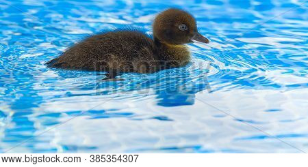 Brown Small Cute Duckling In Swimming Pool. Black Duckling Swimming In Crystal Clear Blue Water Sunn