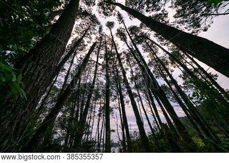 View Through Converging Tall Pine Trees Reaching Skyward.