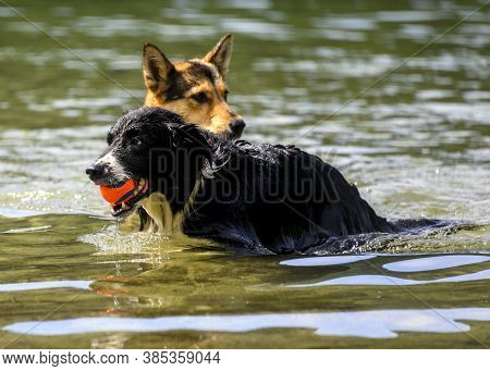 Adorable Dogs Playing In The Water And Enjoying The Warm Weather. This Black Dog Is Fetching His Bal