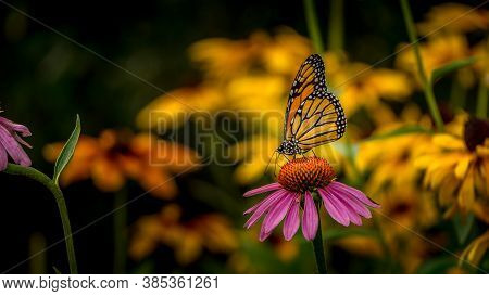 Monarch Butterfly On A Purple Echinacea Coneflower
