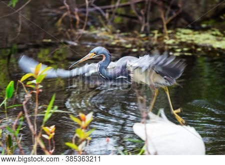 Blue heron in Everglades NP,Florida
