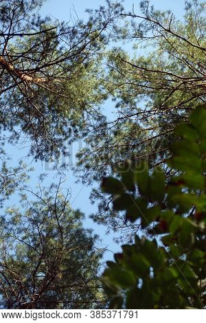 Pine forest trees. Pine thicket on the sunny warm day. Bottom up view. Blue sky through the branches. Fresh pine air