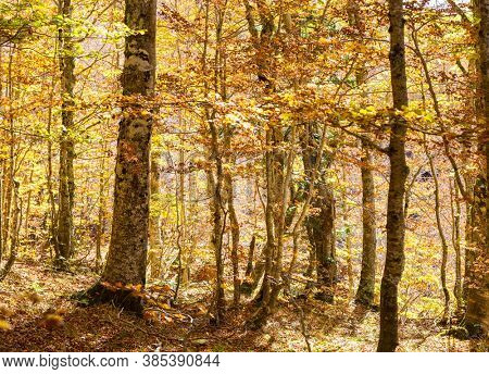 Beech forest in autumn, Pollino National Park, southern Italy.