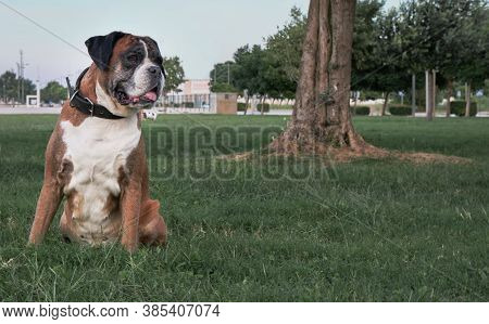 Boxer Dog Sitting In Park On Green Grass