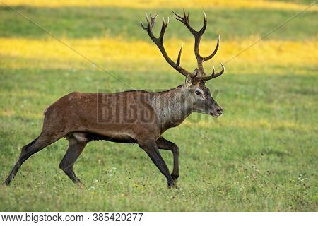 Vital Red Deer Stag Running On Meadow In Autumn Nature.