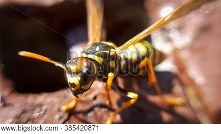 Closeup Macro Wasp. Details Of Yellow Dangerous Animal.