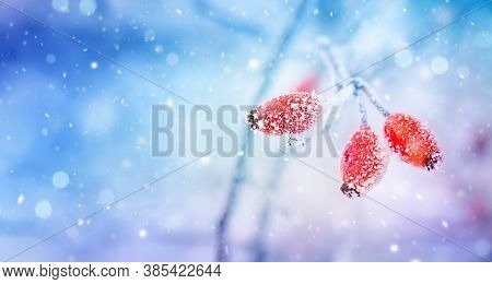 Winter Nature Background With Branch Of Frosty Red Berries Under Snowfall. Cold Weather Concept.
