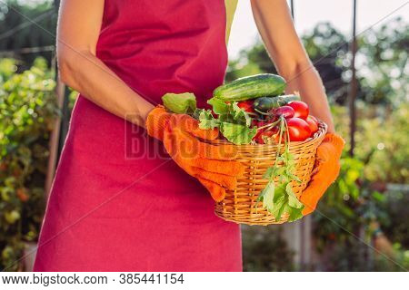 Basket With Radishes, Greens, Cucumber, Tomatoes Over Field In Female Hands. Harvest Of Vegetables F