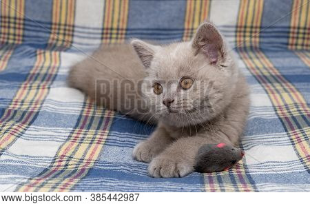 Purebred British Shorthair Cat. Cat Smoky Colour. Small Cute Kitten Lies On A Warm Blanket.