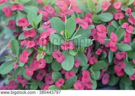 Red Euphorbia Milli Or Crown Of Thorns Flower Bloom In Pot For Background.