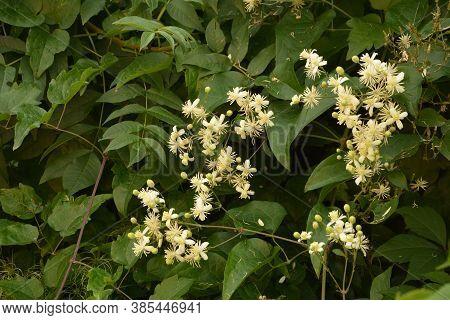 Close-up Of Clematis Vitalba Plant.white Flowers Of Blooming Wild Clematis, Clematis Vitalba,