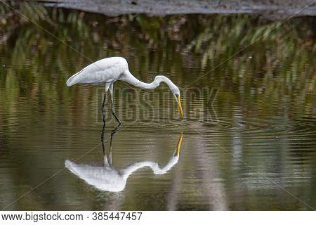 Egret Bird On Wetland Center In Kota Kinabalu, Sabah, Egret Bird Looking Fish On Wetland Center In K