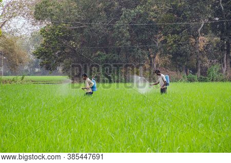 Bardhaman West Bengal India On February 23rd 2016: Farmers Spraying Pesticide At Paddy Field In Rura