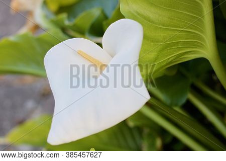 Beautiful Image Of Arum Lily In Early Summer With Foliage