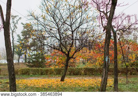 Trees Without Foliage. Autumn City Park. Multicolored Autumn Leaves. Fog And Dampness.
