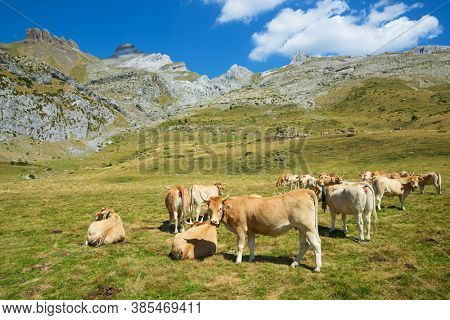 Herd of cows in the Pyrenees, Canfranc Valley, Huesca province in Spain.