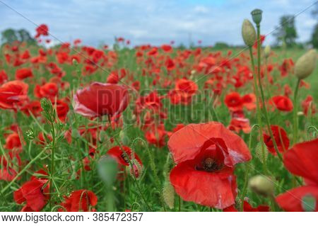 Poppy Thickets In The Fields. Field Of Red Poppies.