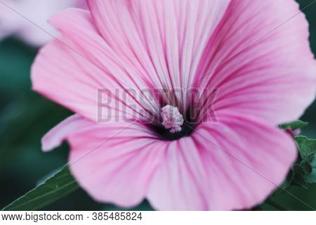 Pink L Hollyhock Growing In A Garden. Flower Of An Alcea Close Up Macro. Malva. Malvaceae Family.sel