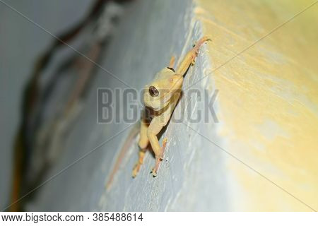 Yellow House Gecko Lizard On Wall Close Up, Reptile Common Asian Nocturnal Predator Species Tail