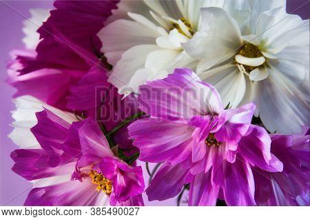 Blooming Pink And White Cosmos Bipinnatus Closeup