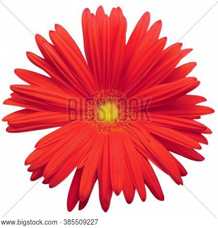 Red Gerbera Daisy Flower In Full Bloom, Blooming Head Petals Top View, Isolated Large Detailed Macro