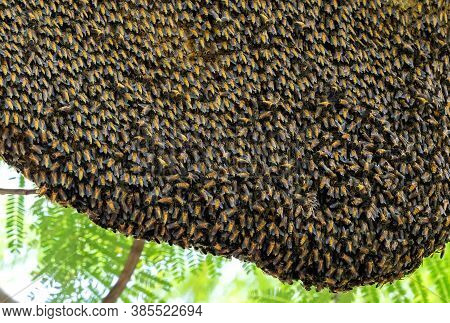Closeup Huge Beehive Of Giant Honey Bees On A Branch