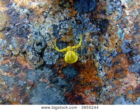 Golden Spider