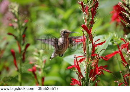 Ruby-throated Hummingbird In Her Flight Over The Flower