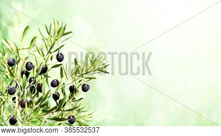 Horizontal banner with ripe black olives on olive tree. Olive branch close up on blue sky background. Mock up template. Copy space for text