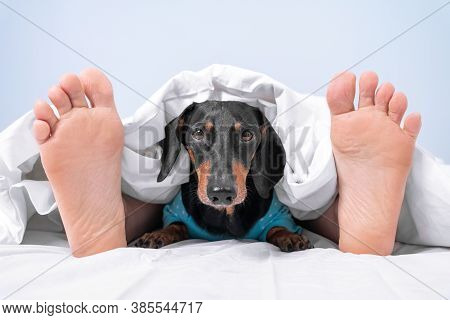 Owner And Pet Sleep Together In Bed At Home Or In Room Of Dog-friendly Hotel. Human Feet Stick Out F