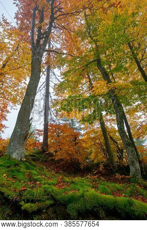 Beech Trees In Colorful Foliage. Misty Forest Scenery. Colorful Foliage. Nature Background