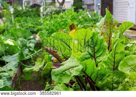 Beetroot Bright Leaves And Sick With Leaf Spot Leaves. A Bed Of Vegetables In The Garden. Foliage Of