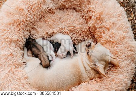 View Top. Blind Multi-colored Newborn Chihuahua Puppies Eat Breast Milk. Breeding Purebred Dogs. Min