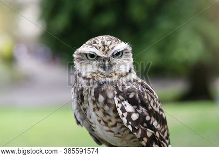 Cropped Shot Of Eagle-owl With A Funny Eyes Looking At Camera, Close Up Shot Of Cute Wild Bird With