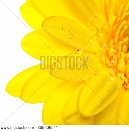 yellow gerber on white background