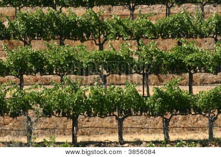 Cropped Vines