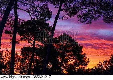 Morning Red Light On The Cedar Forest. Incredible Sunrise Over The Dark Silhouette Of A Forest Cedar