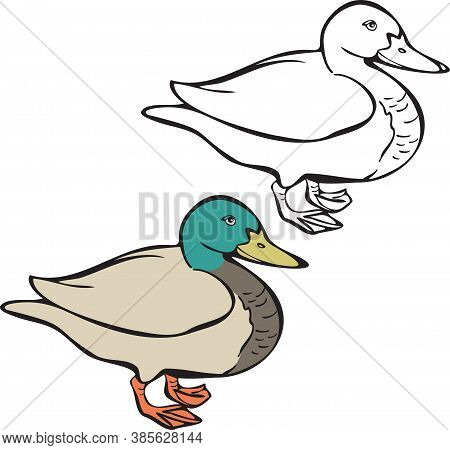 Vector Illustration Of Duck, Realistic Image And Silhouette. Duck Bird Isolated Vector.