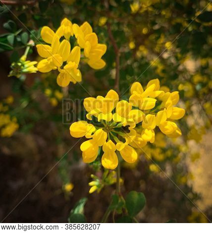 Shrubby Crownvetch Growing In Summer Garden. Soft Yellow Flowers Of Coronilla Valentina, Also Known